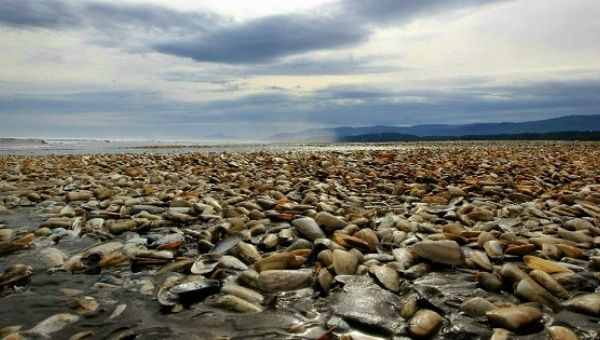 Thousands of dead clams pictured on the shores of Chiloe Island.