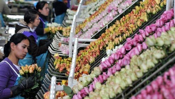 """Trabajadores seleccione rosas para ser empacados en una granja de la flor de """"Las flores de élite"""" empresa en Facatativá, cerca de Bogotá, Colombia, el 1 de febrero de 2012."""