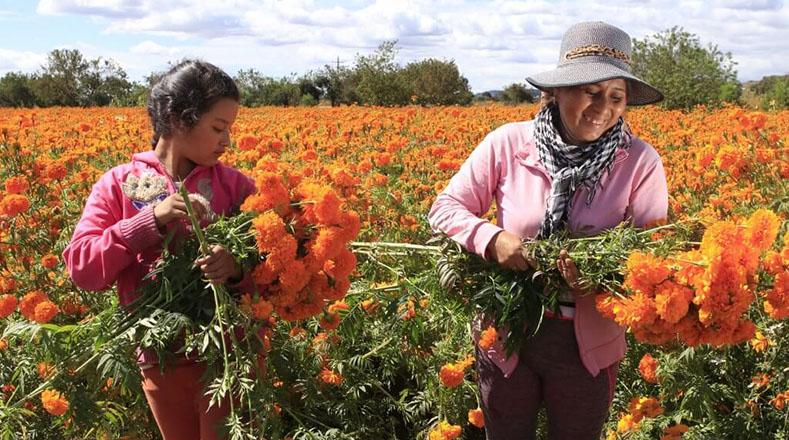 La florcempasúchil era recolectada en campos de Nealticanpara su venta y para adornar ofrendas y altares en las celebraciones por el día de los muertos.