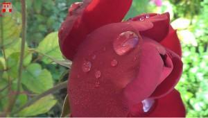 Rózsa az őszi napfényben