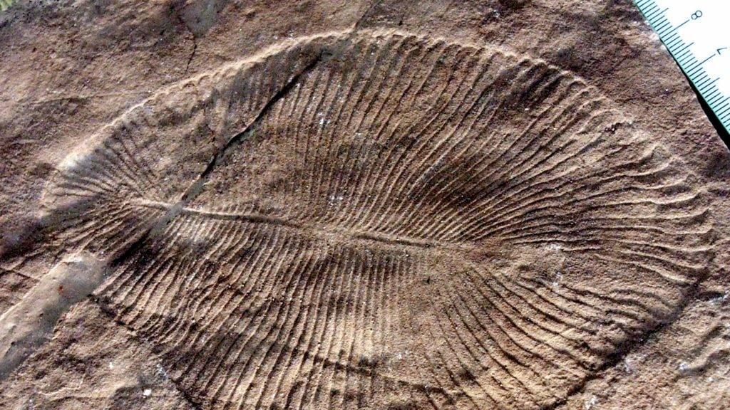 A Dickinsonia fosszíliájaFotó: Ausztrál Nemzeti Egyetem
