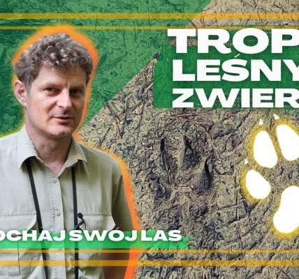 Czy umiesz wytropić wilka, dzika lub borsuka? Naucz się podążać tropem leśnych zwierząt.