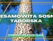 Ta sosna rośnie tylko W JEDNYM MIEJSCU NA ZIEMI - na Mazurach k/OSTRÓDY - Sosna Taborska#25