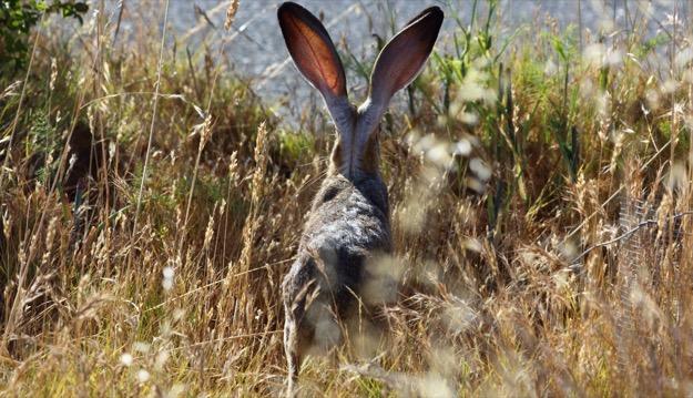 Jack rabbit 625