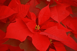 Telly's Poinsettia Care Sheet