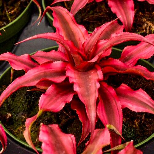 cryptanthus ruby