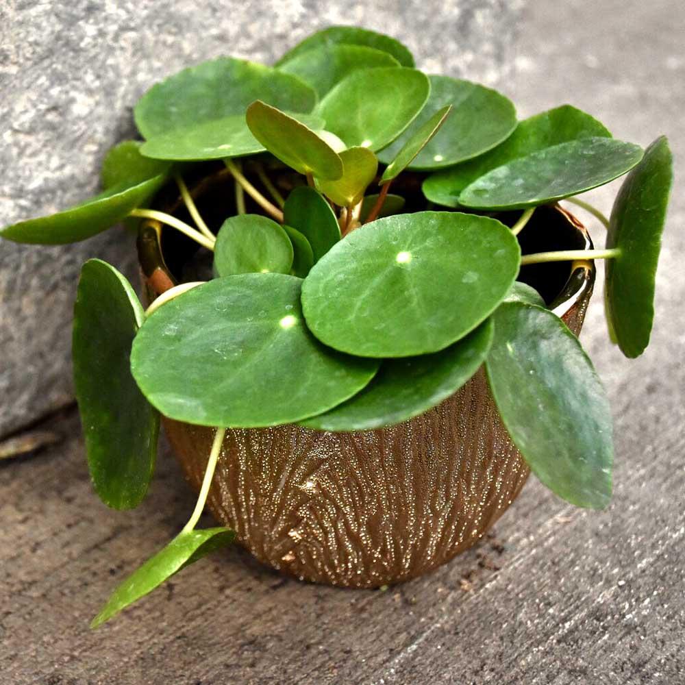 pilea peperomiodes school plants