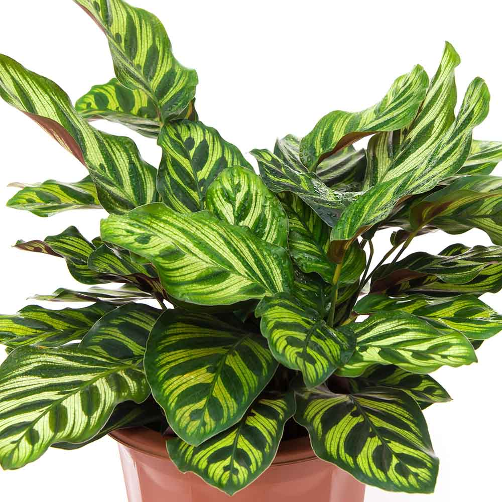rattlesnake plant calathea school plants telly's greenhouse