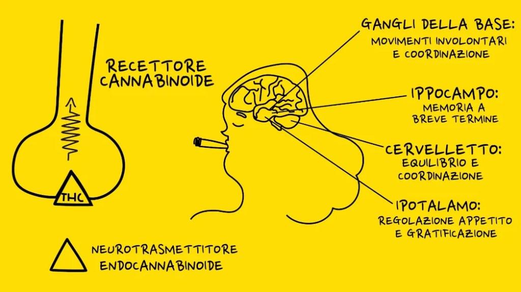 effetti del thc sul cervello umano