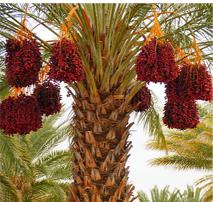 Dates Tree….ఖర్జూరం...