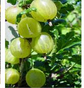 Goose Berry Tree …ఉసిరి చెట్టు...