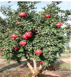 Pomegranate fruit tree……  దానిమ్మ పండ్ల చెట్లు..
