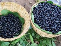 22-black-jamun-fruit-600-06-1452072067