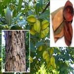 మద్ది ( Terminalia arjuna)