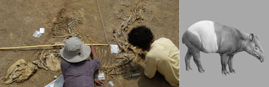 Excavació d'un tapir