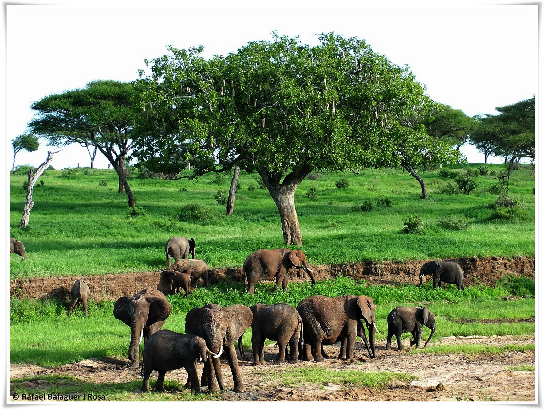 Elefants a Tarangire