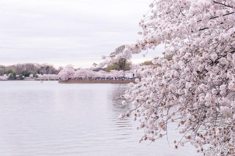 รีวิว เที่ยว Washington DC จุดชมซากุระ Cherry Blossom Tidal Basin
