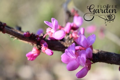 Redbud-Branch-for-Web