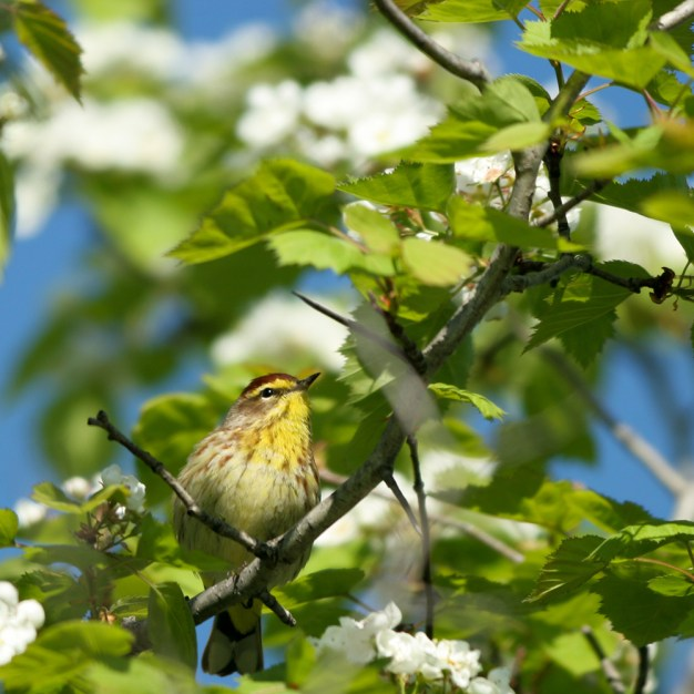 Palm Warbler in a flowering tree in spring