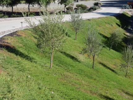 Wine country hillside plantings