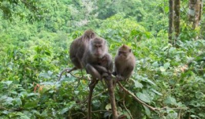 Pusuk Monkey Forest Indonesia