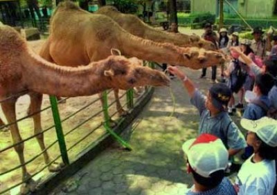 Camel at Surabaya Zoo