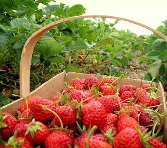 Wisata Petik Strawberry Di Bandung