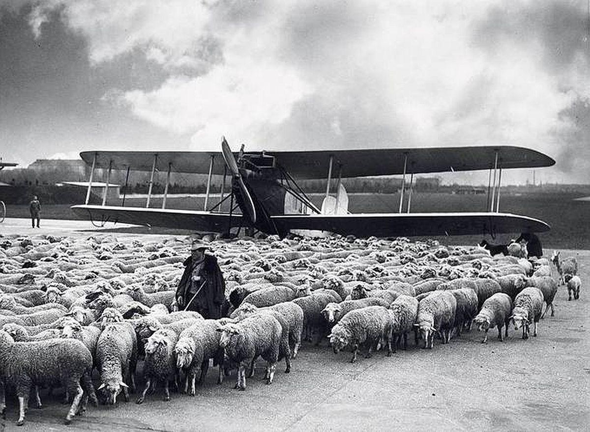 Schafe auf dem Tempelhofer Feld und auf dem Flughafen