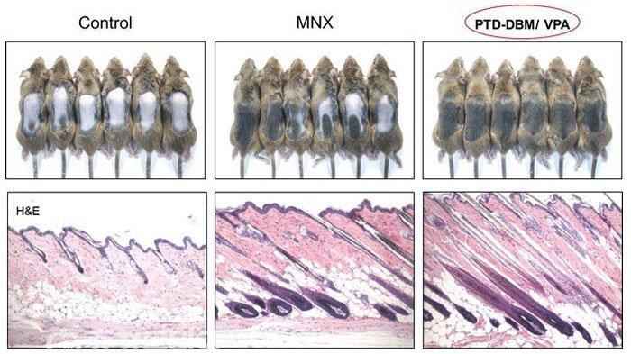 PTD-DBM-Control-pruebas-ratones-cura-calvicie-y-alopecia