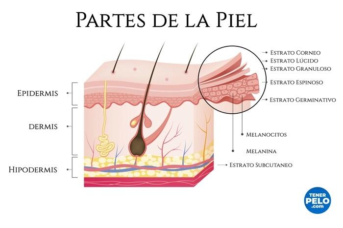 Partes-de-la-Piel - Vitíligo - Tenerpelo