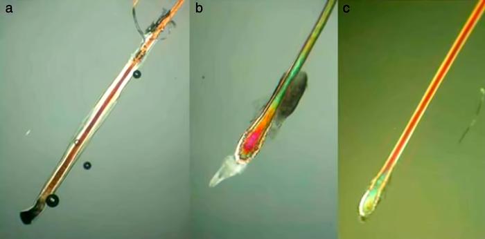 Observación del extremo proximal. A.-Pelo en anagén. B.-Catagén C. Telogén. Características en la tabla 2. Microscopio optico de luz polarizada