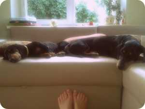 Šunys miega ant sofos