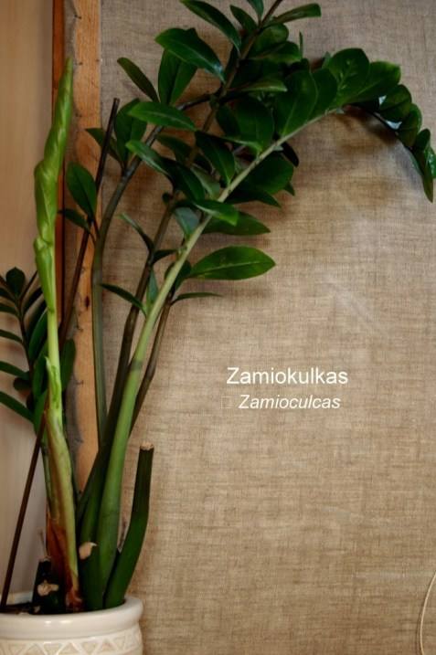 Zamiokulkas