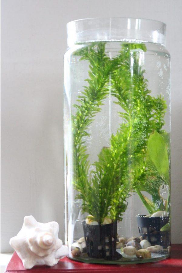 akvariumo-augalai1