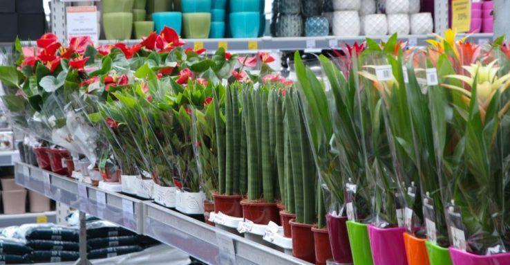 kaip pasirinkti kambarinius augalus