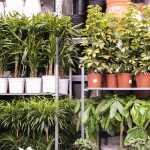 Kaip pasirinkti kambarinius augalus savo namams. 3 dalykai į kuriuos būtina atkreipti dėmesį