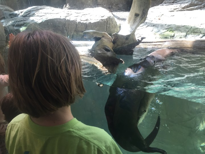 Otter Wrestling