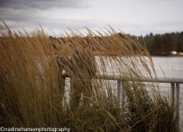 Photo by Nadine Hansen Grasses wave along the Fraser River at Westminster Pier Park