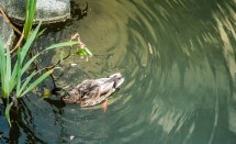 Quayside water feature - duck foraging Photo © Garfield James