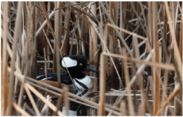 Photo 8. A Hooded Merganser swims amongst the reeds at Burnaby Lake (photo credit: C. Hayden)