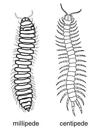 Karakteristik dan Klasifikasi Myriapoda • Tentorku