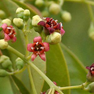 Flor del árbol de Lebbeck + sándalo + cúrcuma