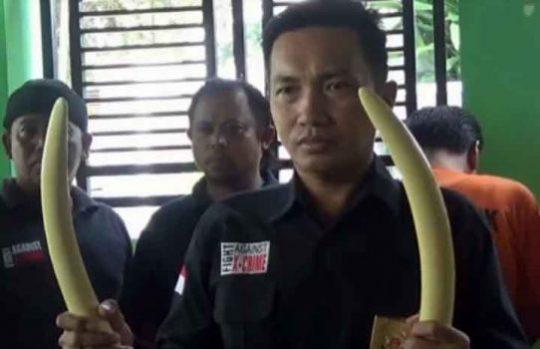 Petugas menyita dua gading gajah berukuran besar dari para tersangka yang digerebek di RM Begadang V di Bandarlampung, Jumat malam (27/7/2019).
