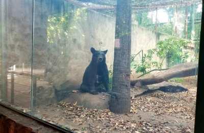 Rescata Zoológico de Culiacán exitosamente a oso negro; esta especie en peligro de extinción tiene aquí su nuevo hogar
