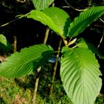 What does kratom do for your body