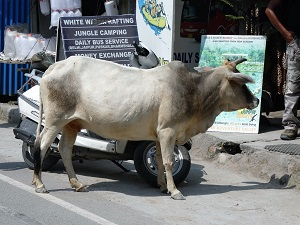 A curious cow on the street in Rishikesh
