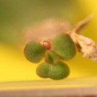 Crassula ovata leaf, new growth