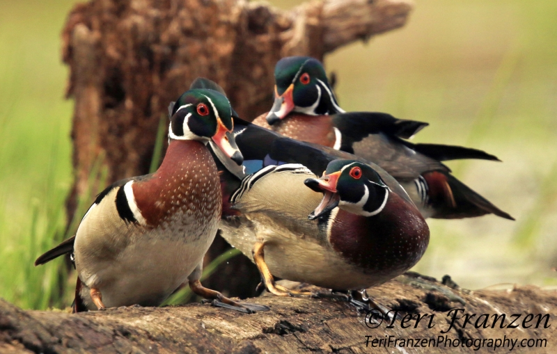 Photographing Wood Ducks In The Wild Teri Franzen