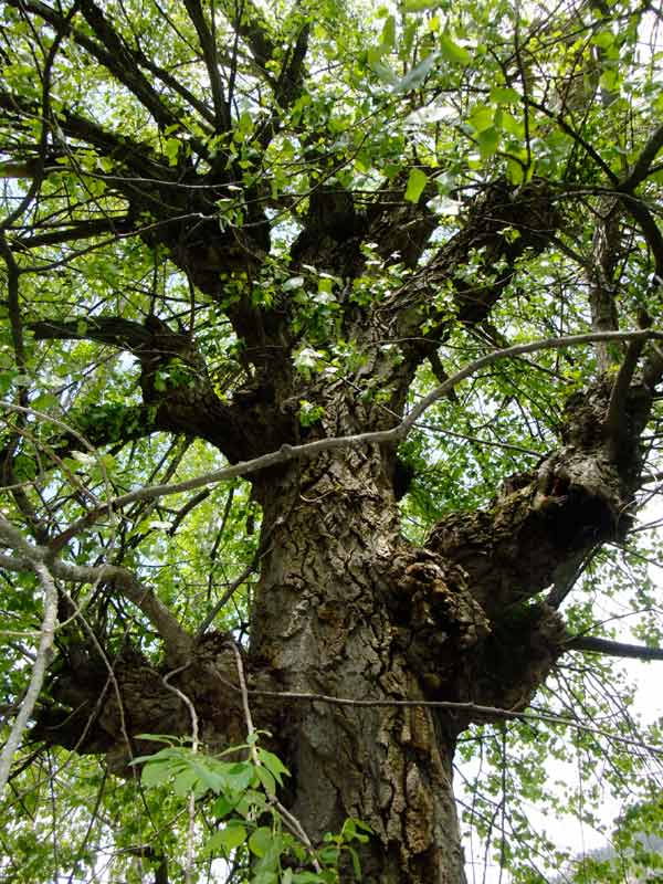 Negril gets its name from the Populus Negro