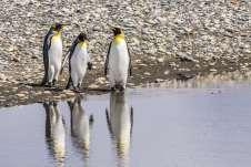 Pinguins-Rei na Bahía Inútil, Terra do Fogo Chilena